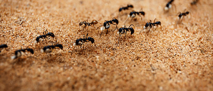 Emergency Ant Control Services