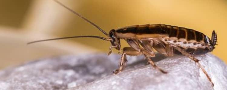 Cockroach Control Yarralumla