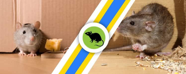 Rodent Control Yarralumla